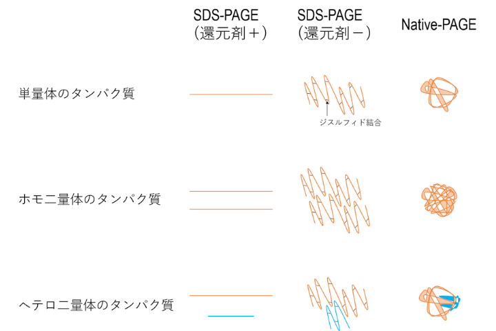 SDS-PAGEとNative-PAGE