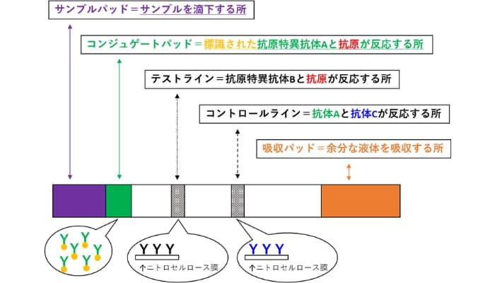 イムノクロマト法の原理と仕組み
