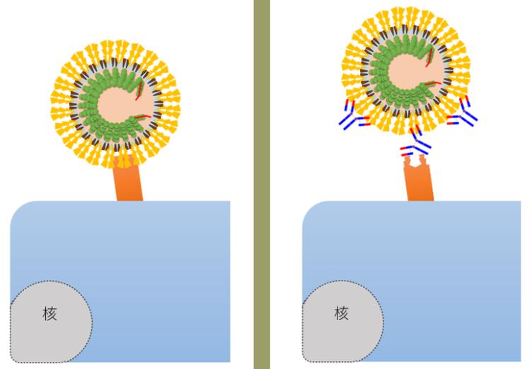 中和抗体の有無と再感染
