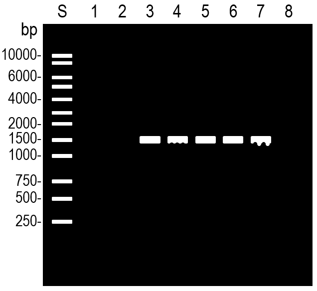PCRのバンドが波状になった